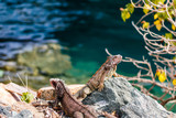 Wild green iguana on the rocks of St. Thomas, US Virgin Islands. Close up photo of a lizard in the sun. - 221676649