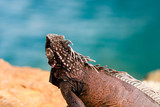 Wild green iguana on the rocks of St. Thomas, US Virgin Islands. Close up photo of a lizard in the sun. - 221677056