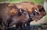 Buffalo grazing in pasture - 221680424