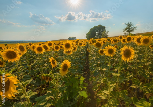 Fototapeta Blooming sunflower. A large view of the flowers. Sunflower at sunset.