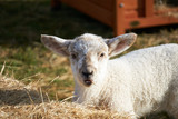 Sheep in New Zealand - 221686483