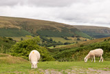 sheep in the countryside of Wales - 221687860