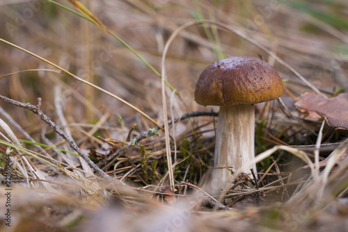 Boletus Edulis. Beautiful edible mushrooms growing in the forest in autumn.