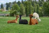 Alpaca on farm, New Zealand - 221690898