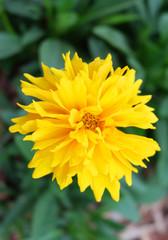 Yellow Cosmos (Cosmos sulphureus) on the flowerbed in the park.