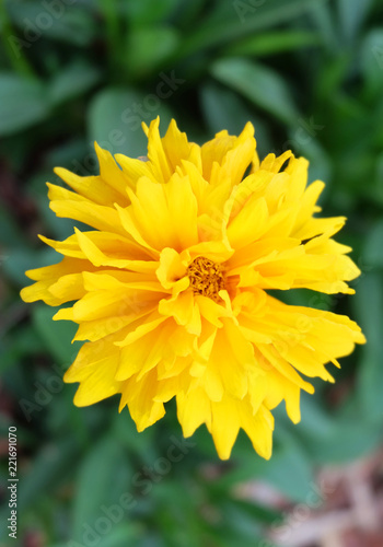 Yellow Cosmos (Cosmos sulphureus) on the flowerbed in the park. - 221691070