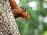 Squirrel in the garden 1 - 221697093