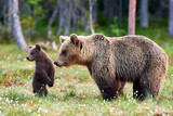Mother bear and cub. Mother bear and cub. Focus on cub. - 221697452