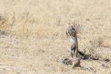 Cape ground squirrel - 221703449