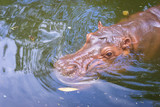 Hippopotamus swimming in the water - 221706021