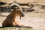 Dwarf goat - 221707469