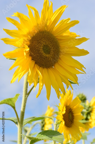 Fototapeta Closeup of a beautiful yellow sunflower on a sunny summer day