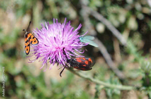 Papillon rouge et noir sur une fleur violette  - 221714618