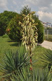 Bush, yucca grows on the lawn in the southern city - 221719258