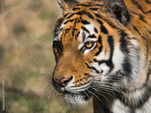 Foto Murales Tigre