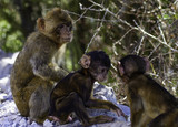 Barbary macaques from Gibraltar - 221722844