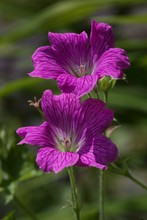 "Постер, картина, фотообои ""Purple Geranium flower in the garden"""