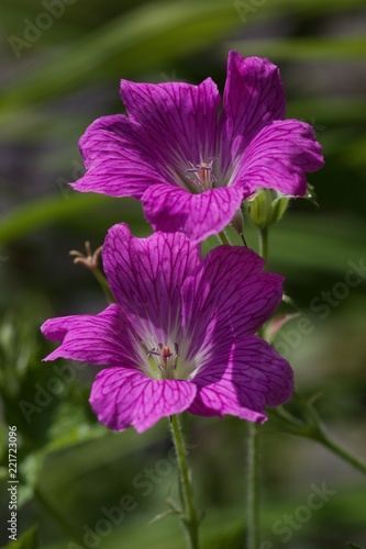 Sticker Purple Geranium flower in the garden