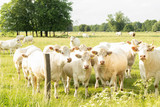 herd of charolais beef