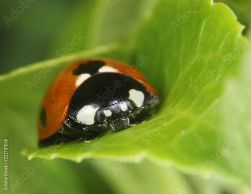 Ladybug on green leaf macro