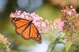 Monarch Butterly on a Butterfly Bush