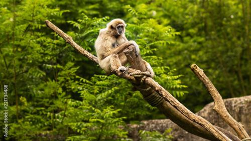Foto Murales gibbon