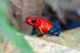 Strawberry Poison-Dart Frog (Oophaga pumilio) on a tree in tropical rainforest, Costa Rica - 221736252