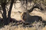 León comiéndose una cebra en Namibia, África. - 221737078