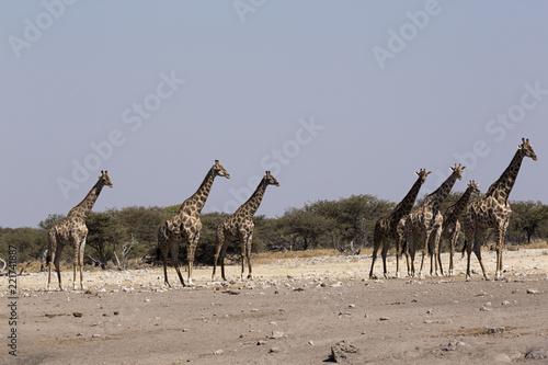 Foto Murales Jirafas en el parque nacional de Etosha, Namibia. África.
