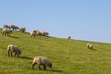 Schafe auf einem Deich an der Nordsee - 221744467