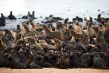 Colony of cape fur seals, Arctocephalus pusillus, in Namibia - 221759601