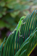 Green Anole on Sago Palm Leaf