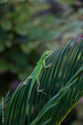 Green Anole on Sago Palm Leaf