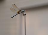 Dragonfly - 221773851