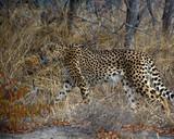 Cheetah stalking - 221774043