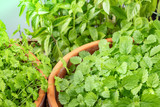 Pots with aromatic garden herbs, perfect green leaves - 221775091