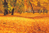 Carpet of yellow maple leaves in city park, fall season outdoor background - 221778409