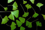 the background from fresh green Ginkgo biloba leaves - 221778833