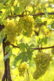 Bunch of white grapes - 221780226