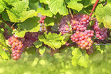 Bunch of pink grapes - 221780295