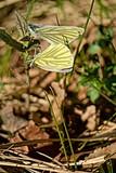 Two butterflies Aporia crataegi mate in the grass.