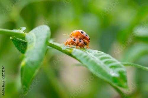 Ladybugs breeding on the leave - 221785841