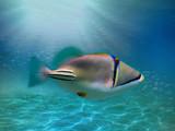 Picasso triggerfish underwater - 221786845