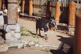 Beautiful goat on a farm on a summer sunny day, toned - 221788042