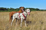 Dalmatian and Ridgeback on a field
