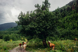 cows on a pasture in mountains