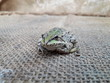 little green frog, frog on hand