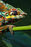 Wild chameleon in the jungle - 221805872