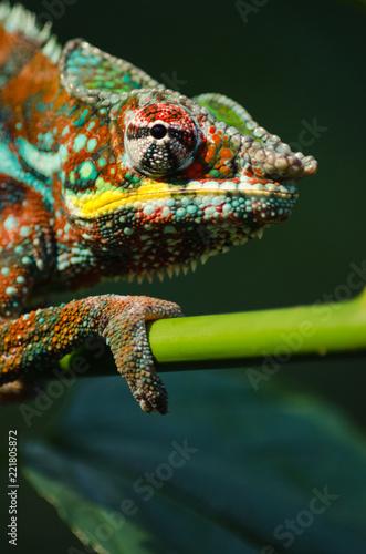 Dziki kameleon w dżungli