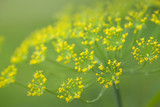 Close up of blooming dill flowers. Nature background. - 221807832